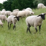 sheep-838489_960_720